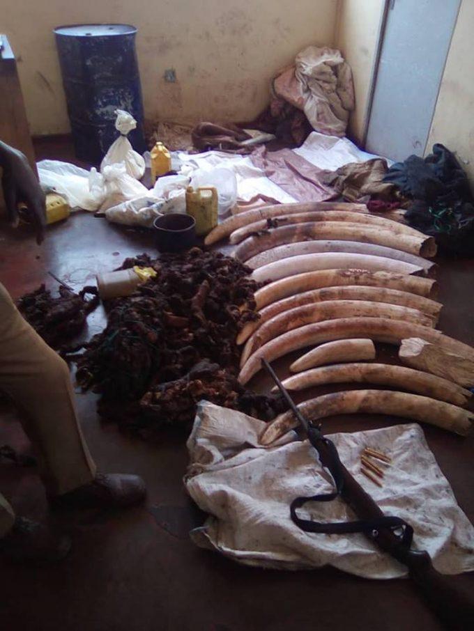 Suspected Zambian poachers abandon 172 kilograms of elephant tusks in Zimbabwe