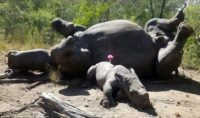 Photo of baby rhino lying near dead mother sparks social media outrage
